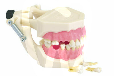 Product - MODEL WITH REMOVABLE ROOT CANAL