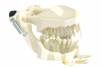 Product - MOUTH MODEL REMOVABLE TEETH